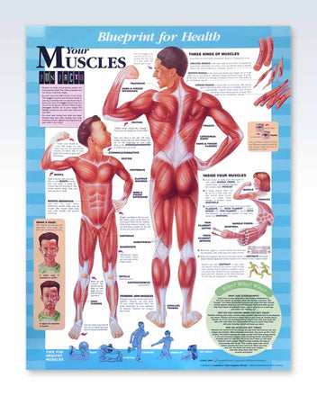 Your Muscles pediatric anatomy poster