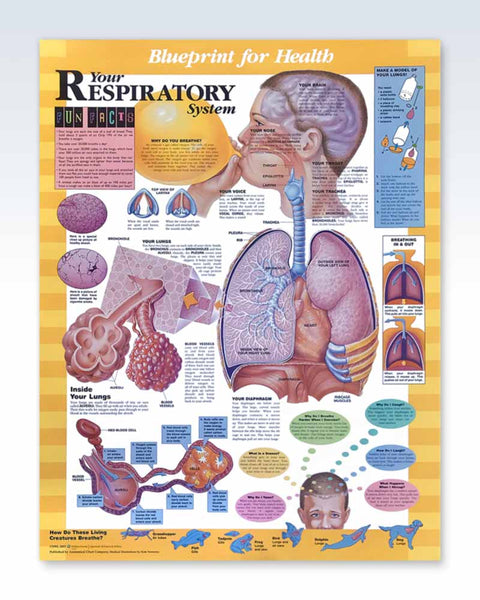 Your Respiratory System anatomy poster