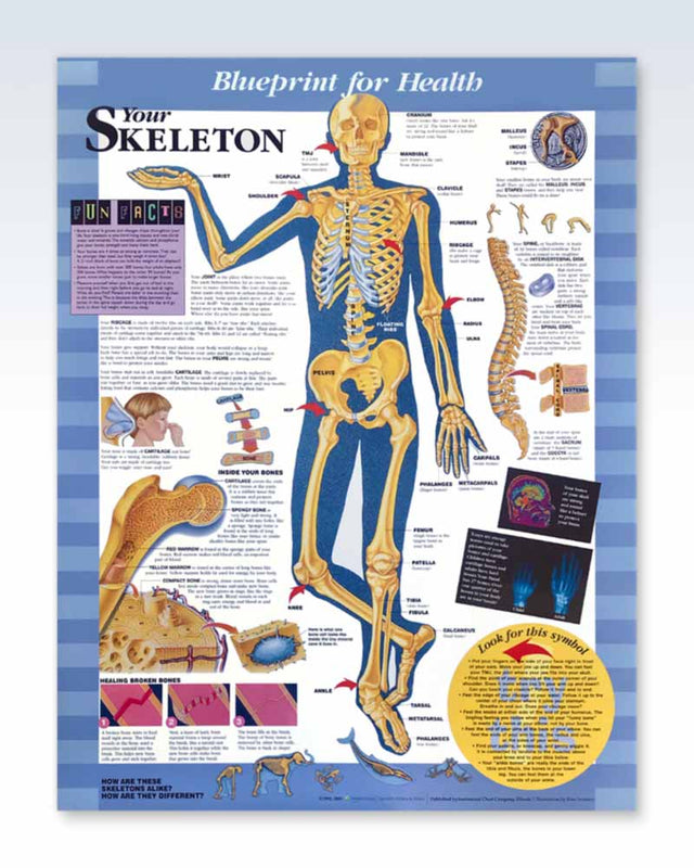 Your Skeleton pediatric anatomy poster