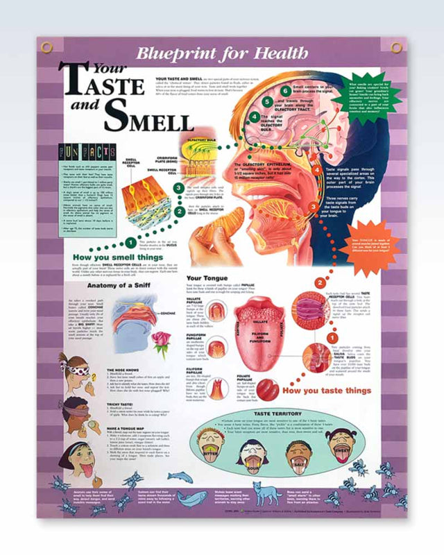 Your Taste And Smell Pediatric Exam Room Anatomy Poster