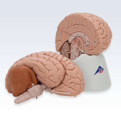8-Part Human Brain Model Halves