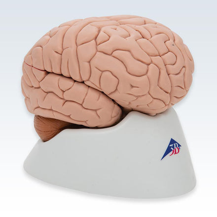 Brain 8-Part Model Side