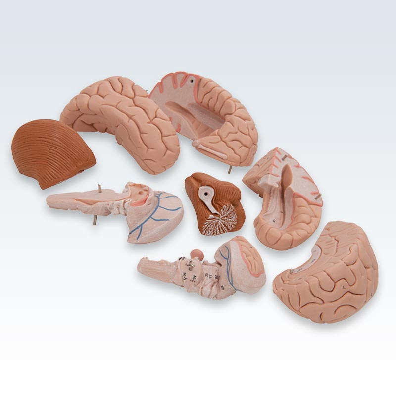 8-Part Human Brain Model Disassembly