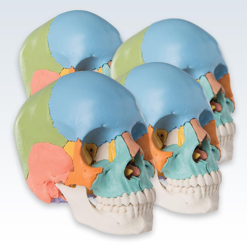 Didactic Colored Adult Human Skull Set of 4