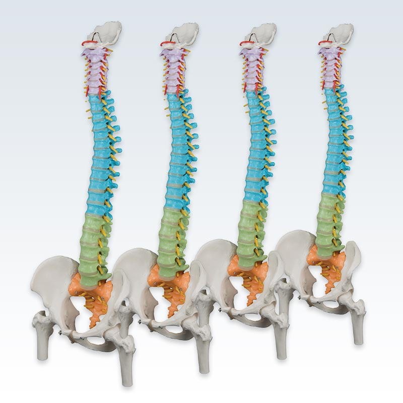 Set of 4 Colored Flexible Spine Models
