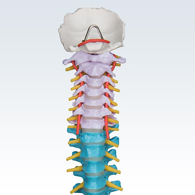 Colored Flexible Cervical Spine Model
