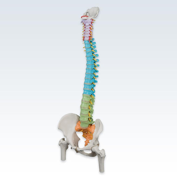 Colored Flexible Spine With Femur Heads Model