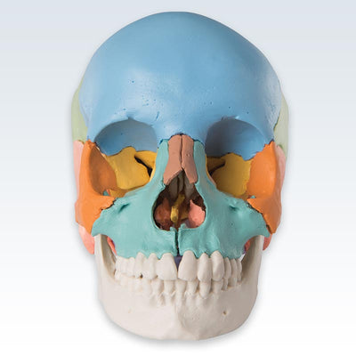 Didactic Colored Adult Human Skull Anterior