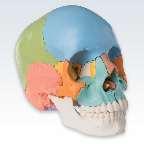 Didactic Colored Adult Human Skull