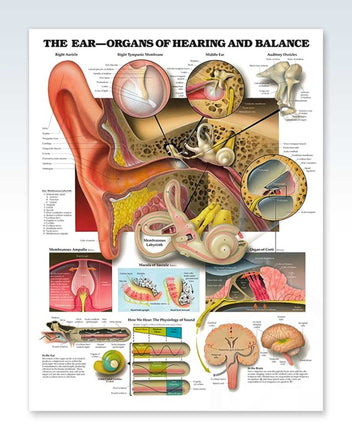 Organs of Hearing and Balance anatomy poster