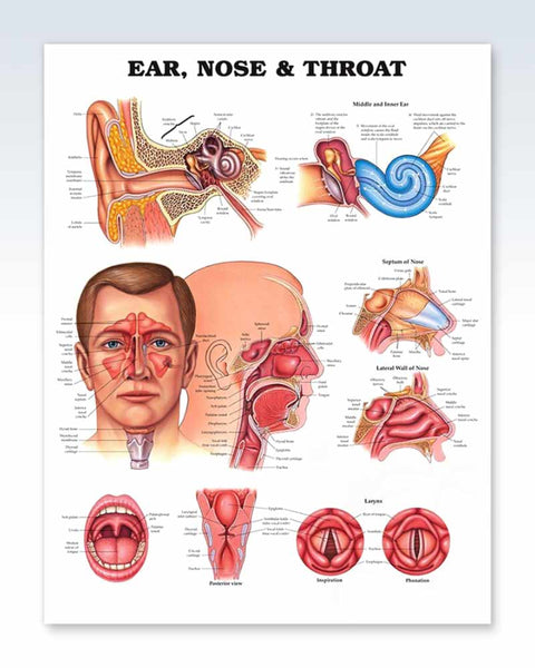 Ear, Nose Throat anatomy poster