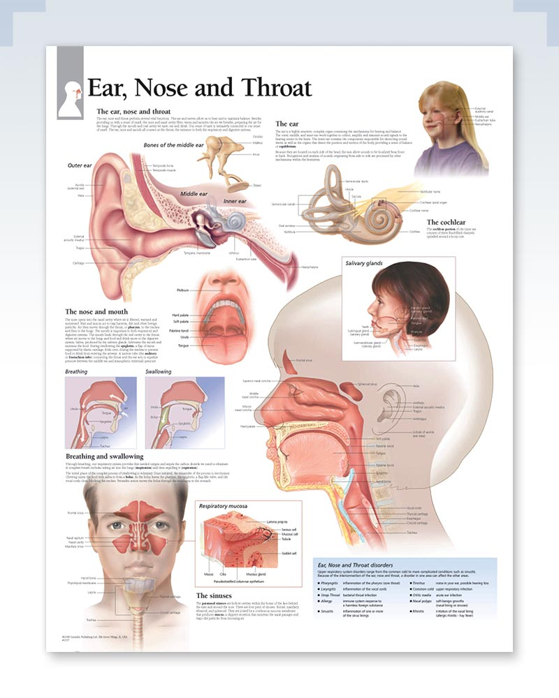 Ear, Nose and Throat Exam-Room Anatomy Poster – ClinicalPosters