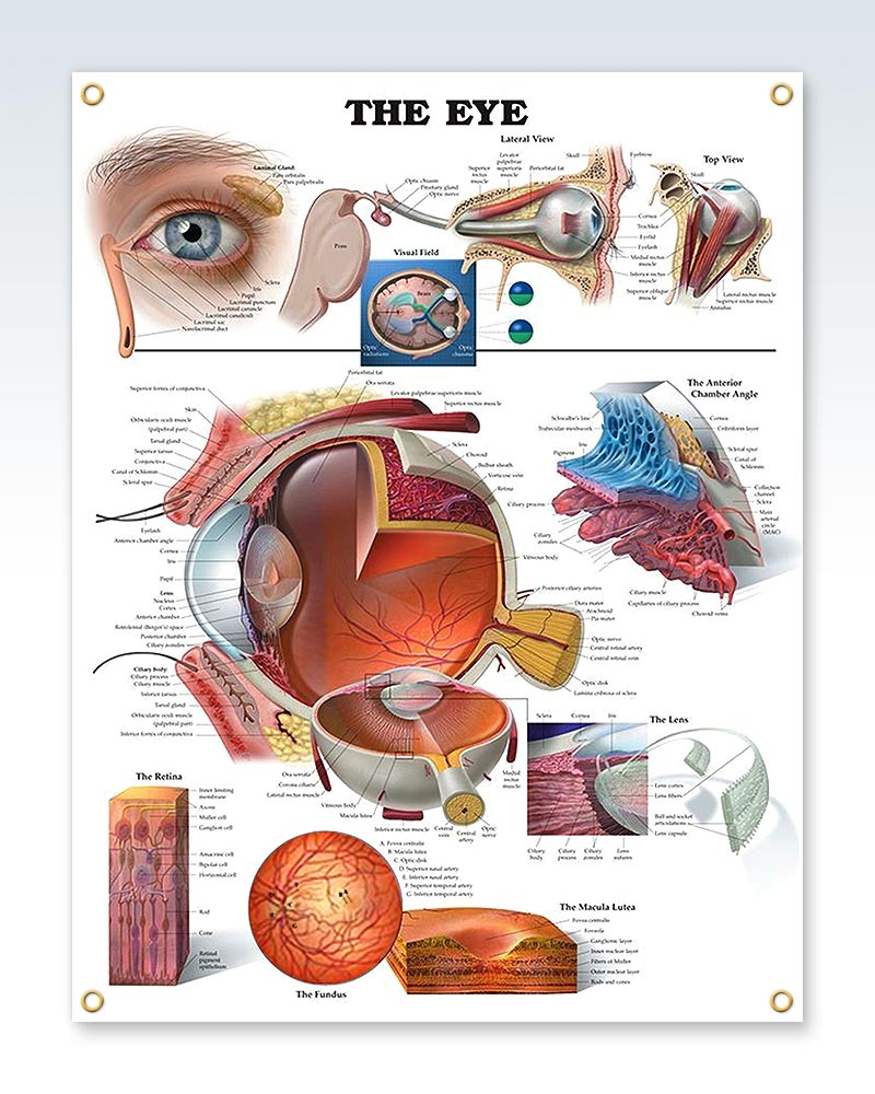 Vision Human Anatomy Posters Clinicalposters