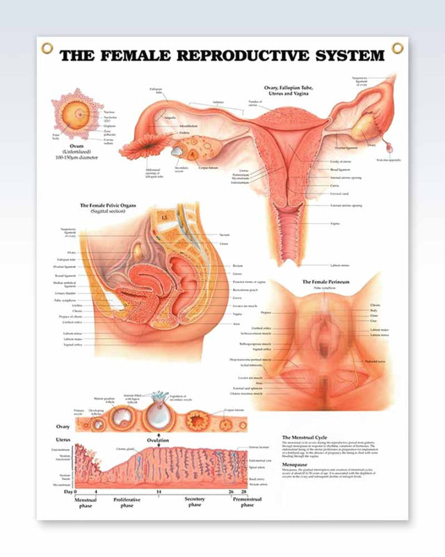 Female Reproductive System Exam Room Anatomy Poster Clinicalposters
