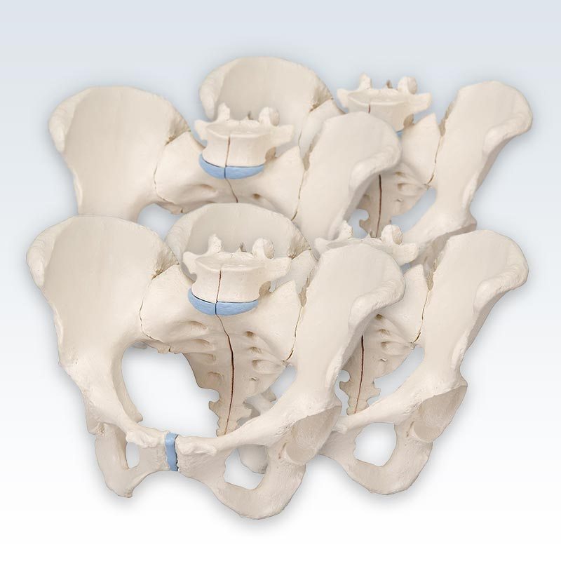 meta-4 Female Pelvis 3-Part Models