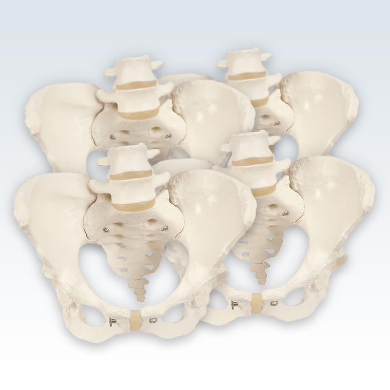 meta-4 Female Pelvic Skeleton Models
