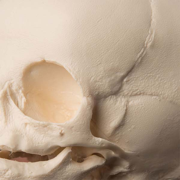 Fetal 30-Week Skull Model Detail
