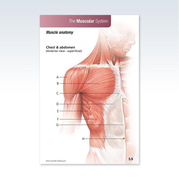 Anatomy Muscular System Flash Card