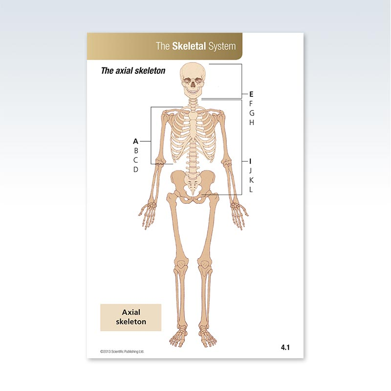 Anatomy Skeletal System Flash Card