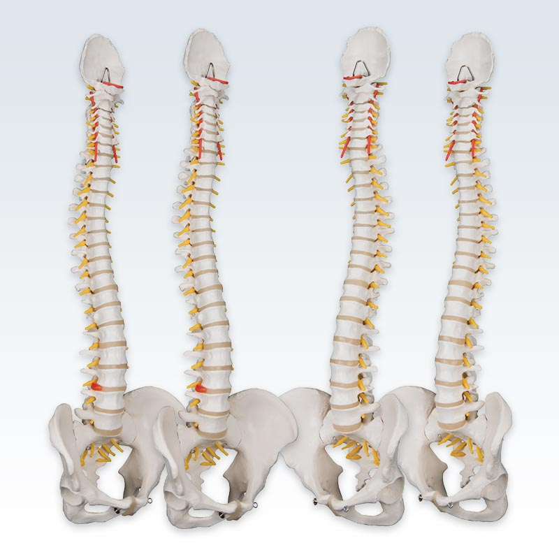 Set of 4 Flexible Spine Models