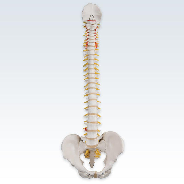 Anterior Flexible Spine Model