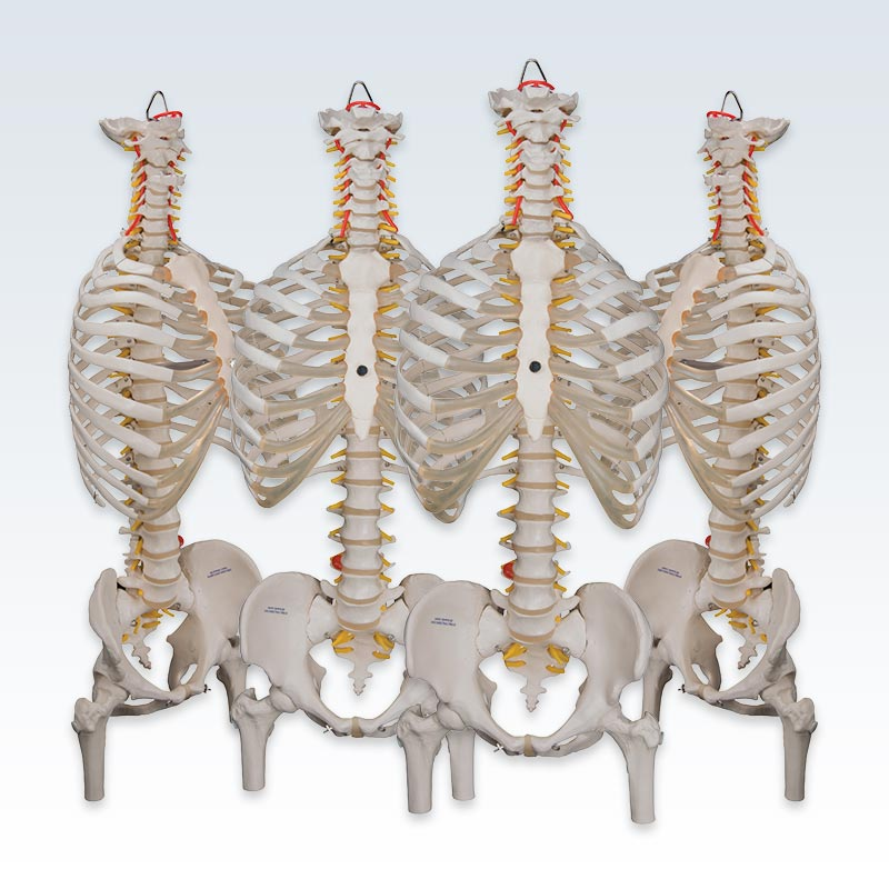 Set of 4 Flexible Spine with Ribs and Femur Heads Models