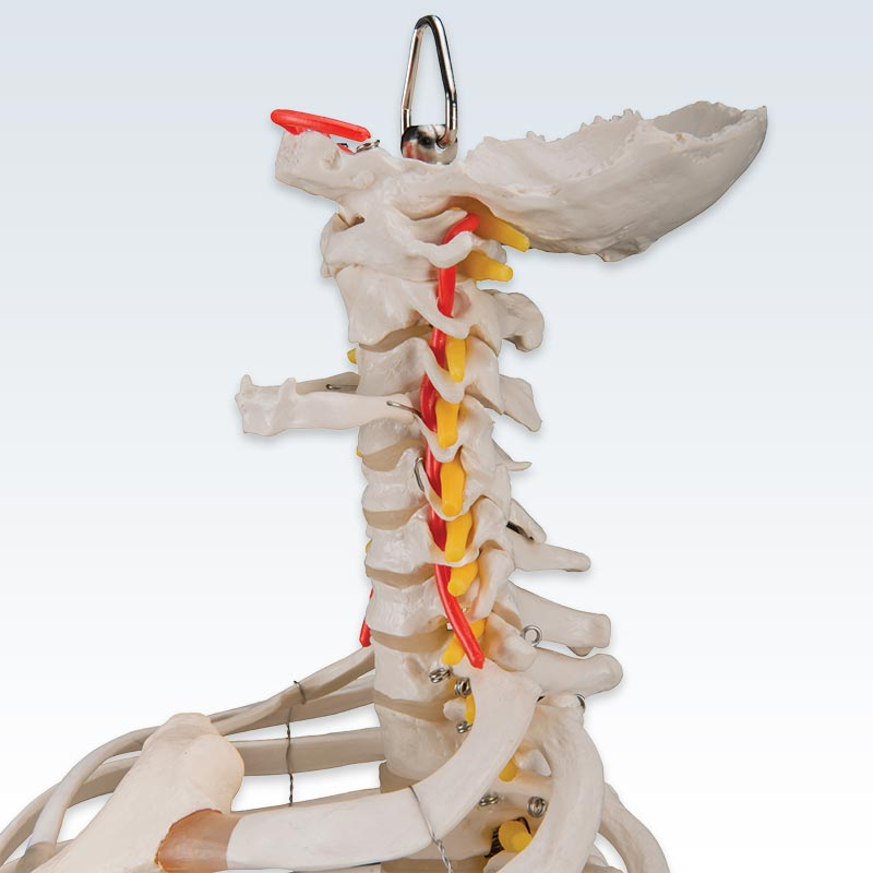 Flexible Cervical Spine with Ribs and Femur Heads Model