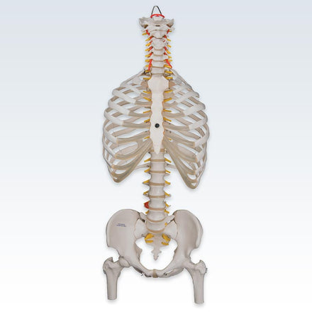 Flexible Spine Model with Ribs and Femur Heads