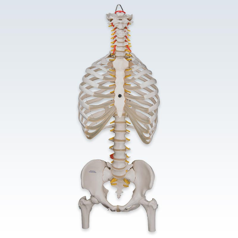 Flexible Spine with Ribs and Femur Heads Model