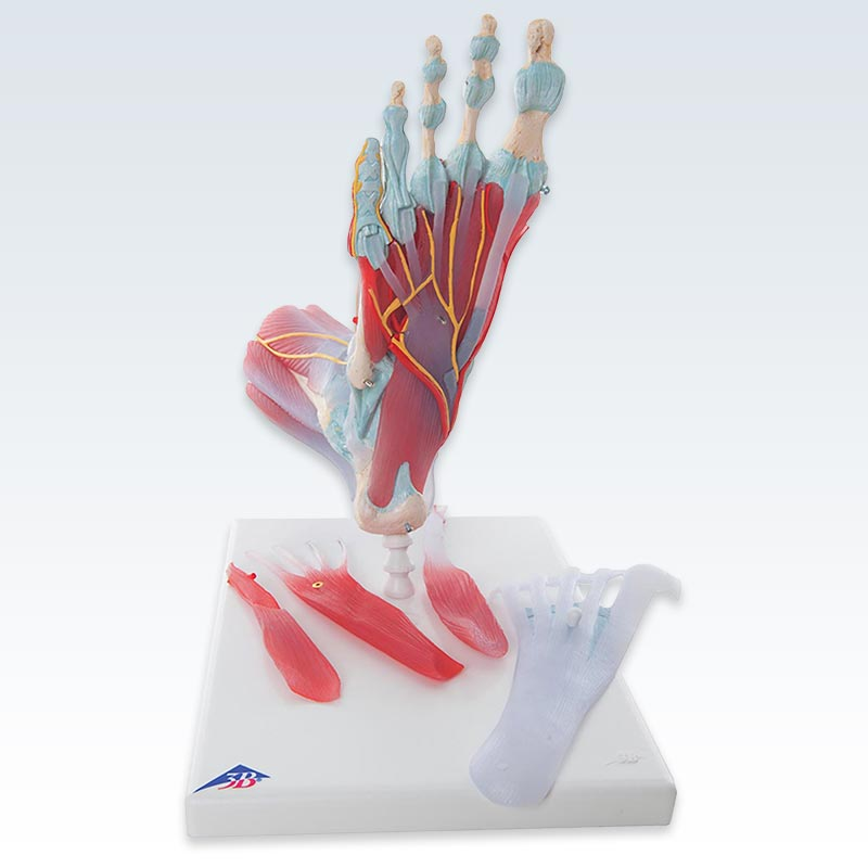 Foot Skeleton with Ligaments and Muscles Anatomical Model ...