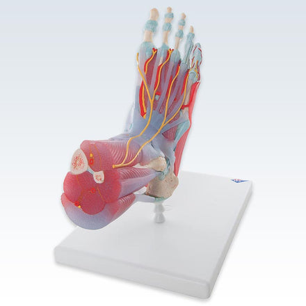 Foot Skeleton with Ligaments and Muscles Model