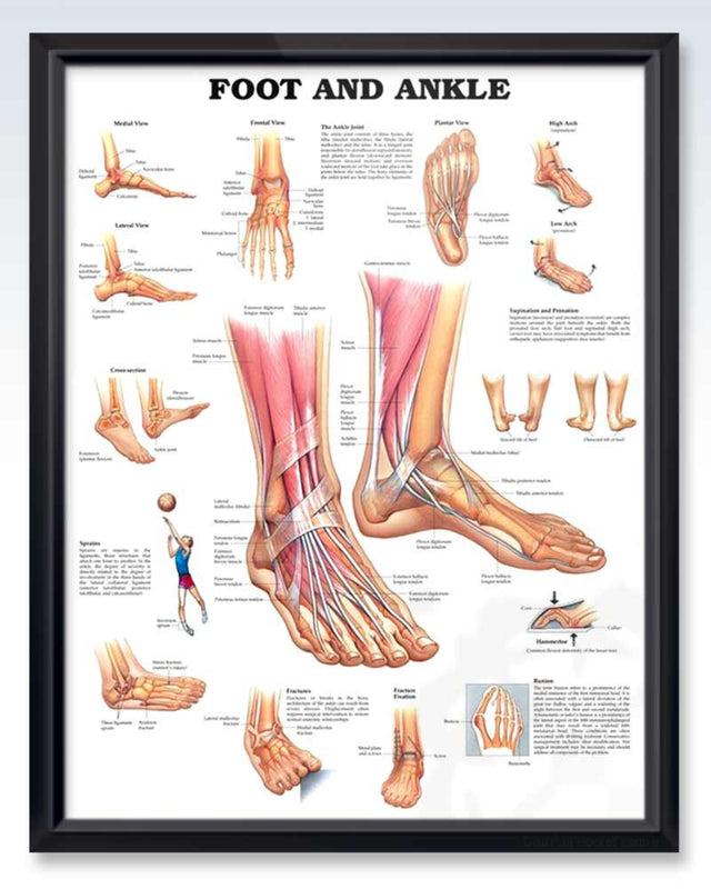 Foot And Ankle Exam Room Anatomy Poster Clinicalposters