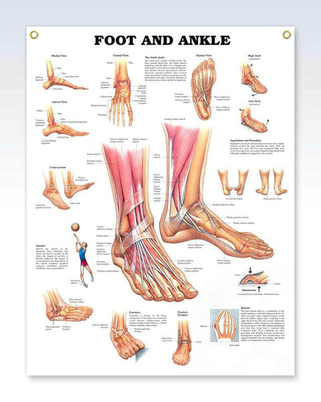 Foot and Ankle Exam Room Anatomy Poster – ClinicalPosters