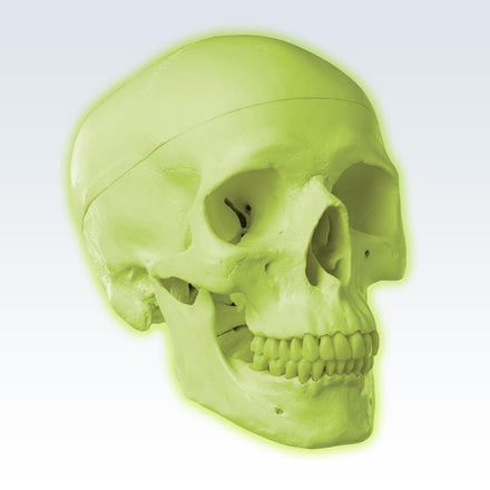 Glow in the Dark Skull Model