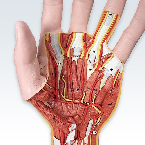 Internal Hand Structure 3 Part Anatomical Model Clinicalposters