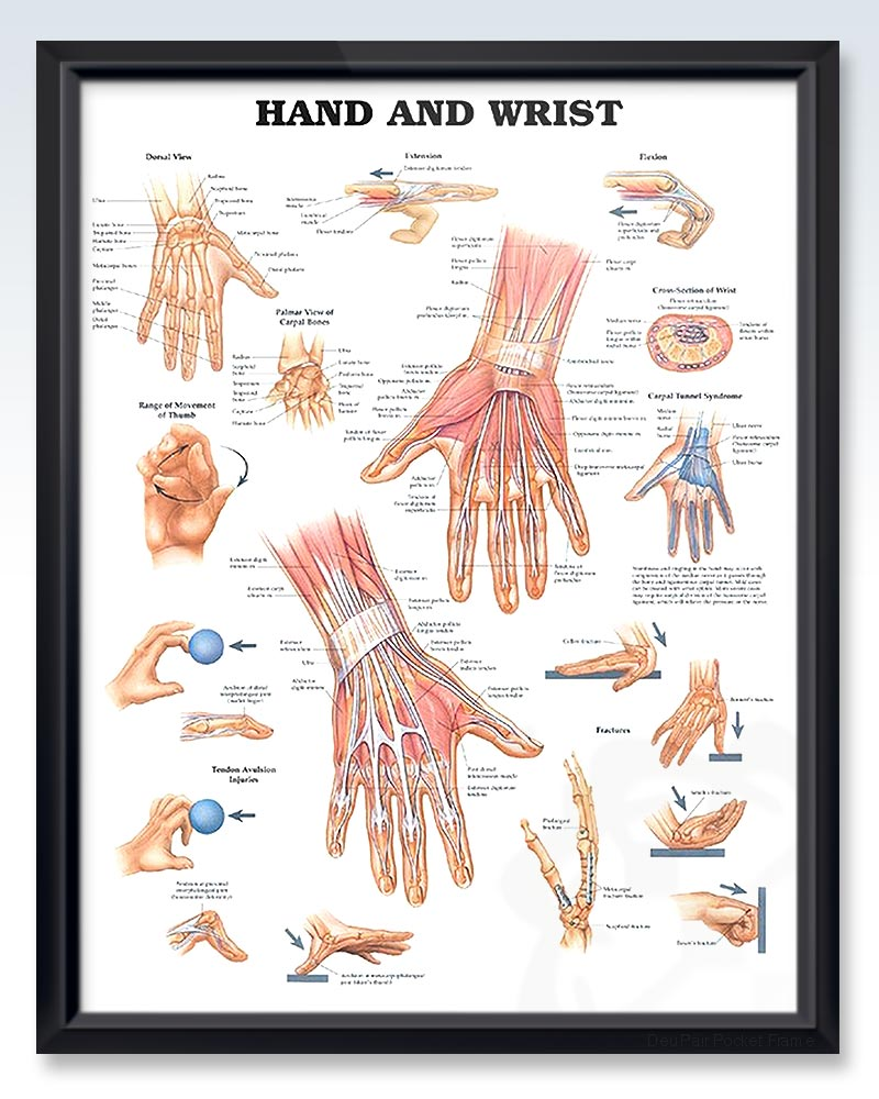 Hand and Wrist Exam Room Anatomy Poster – ClinicalPosters