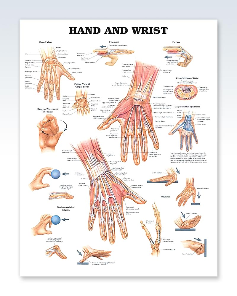 Hand And Wrist Exam Room Anatomy Poster Clinicalposters