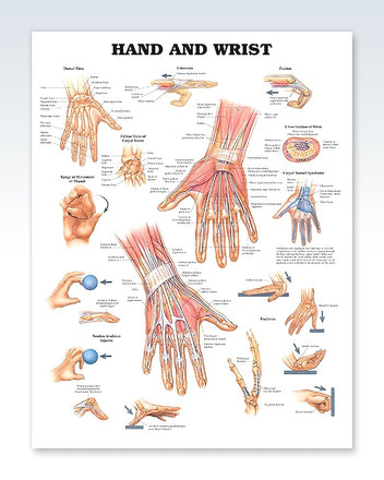Hand and Wrist anatomy poster