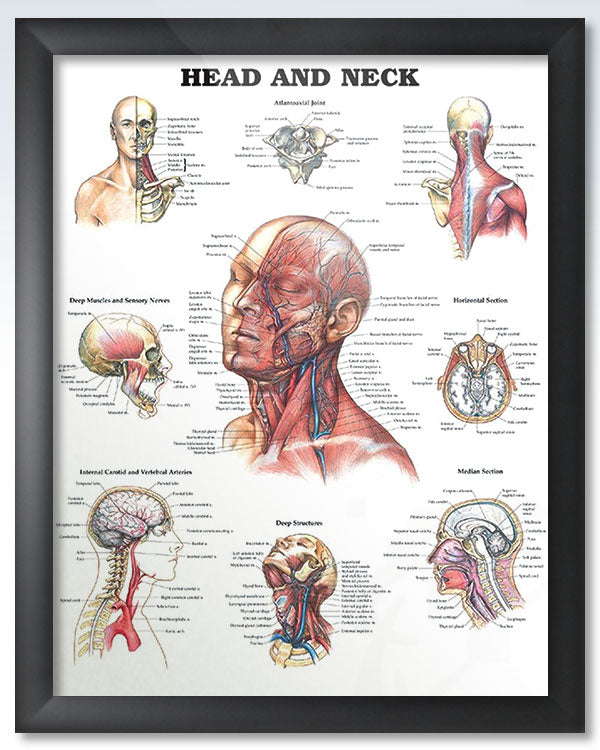 Framed Head and Neck anatomy poster
