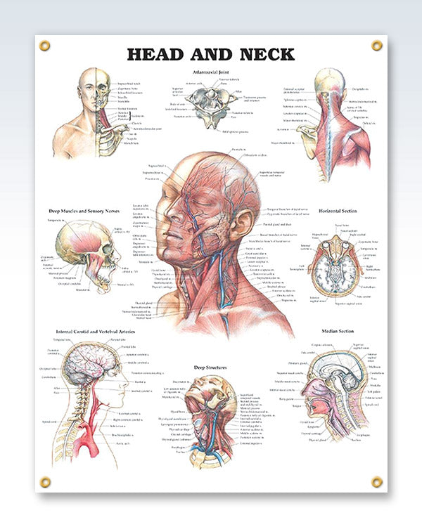 Head and Neck anatomy poster with 4 grommets