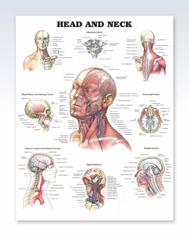 Head and Neck anatomy poster