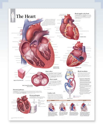 The Heart Anatomy Poster