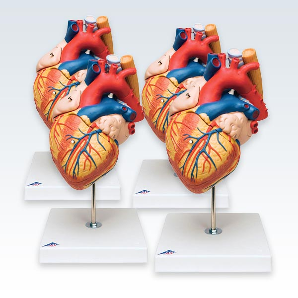 meta-4 Heart Esophagus and Trachea Model