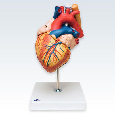 Heart Esophagus and Trachea Model