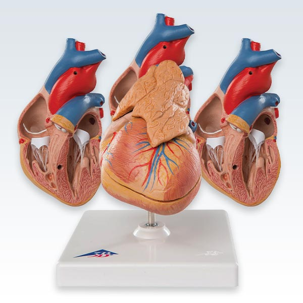 meta-4 Heart With Thymus Models