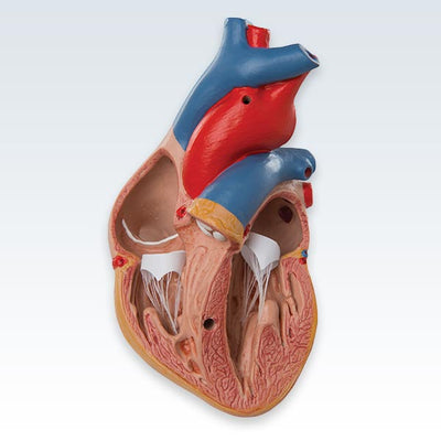 Classic Heart With Thymus Chambers