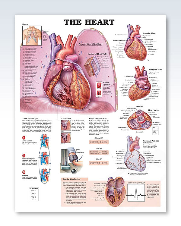 The Heart Exam Room Anatomy Poster – ClinicalPosters