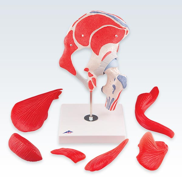 Hip Joint with Removable Muscles Model Disassembled