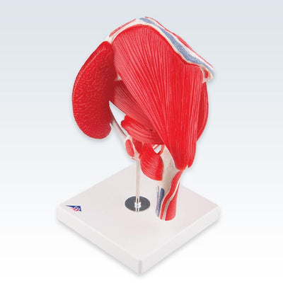 Hip Joint with Removable Muscles Model