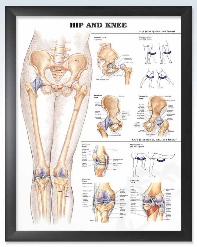Hip and Knee Exam Room Anatomy Poster – ClinicalPosters
